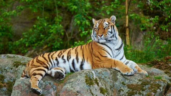 Wild tigers are to be reintroduced to Kazakhstan