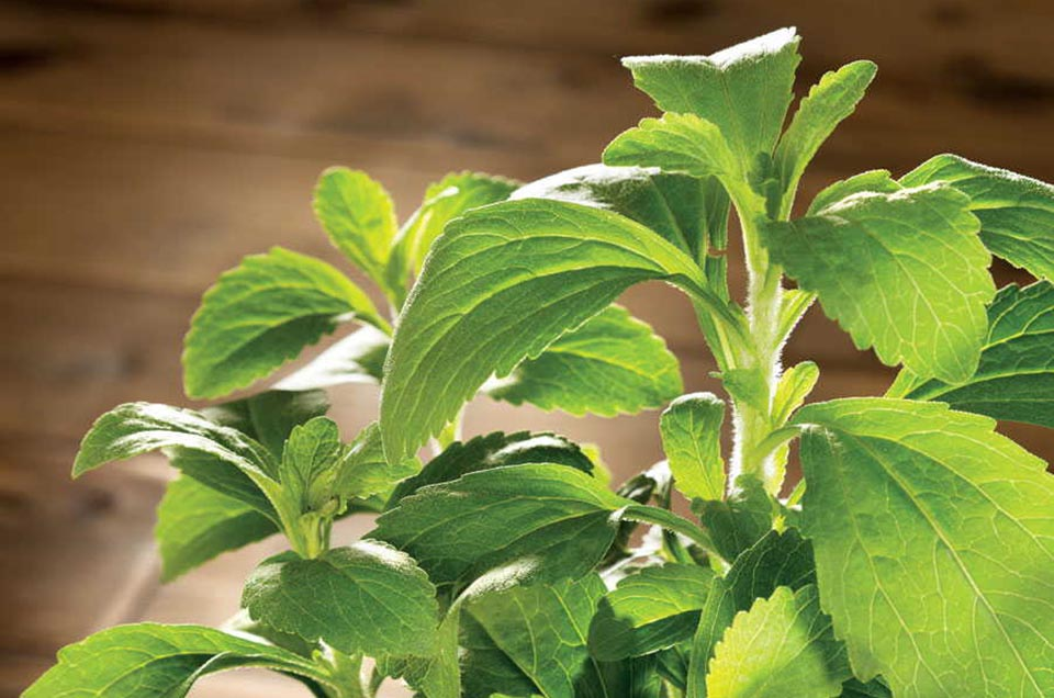 The healing hand that the nature has extended: Stevia